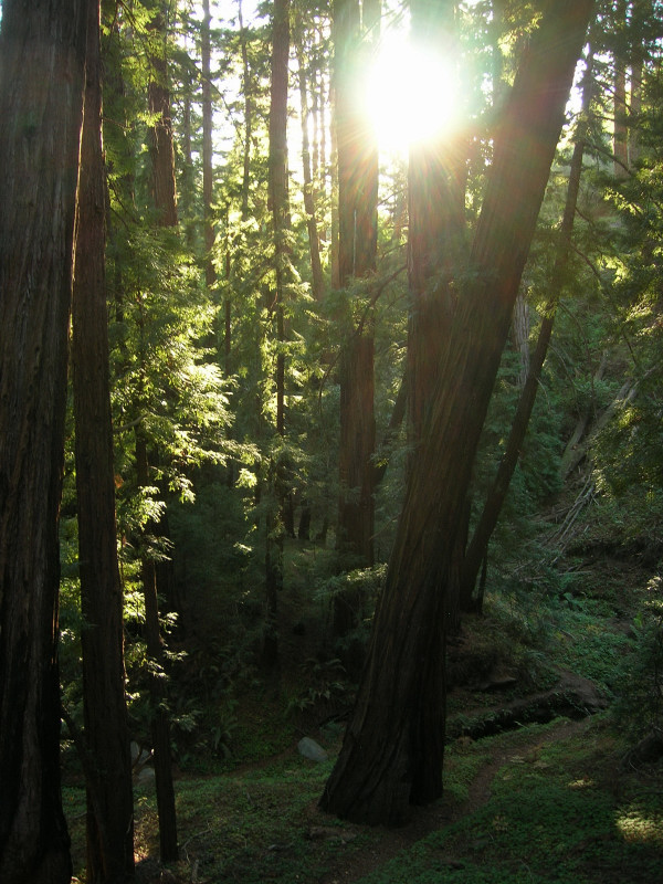 Redwoods in Soberanes Canyon
