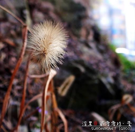 春花之白毛虫草.jpg