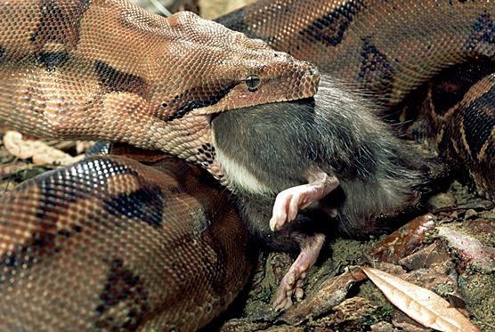 predator prey relationship in the temperate rainforest