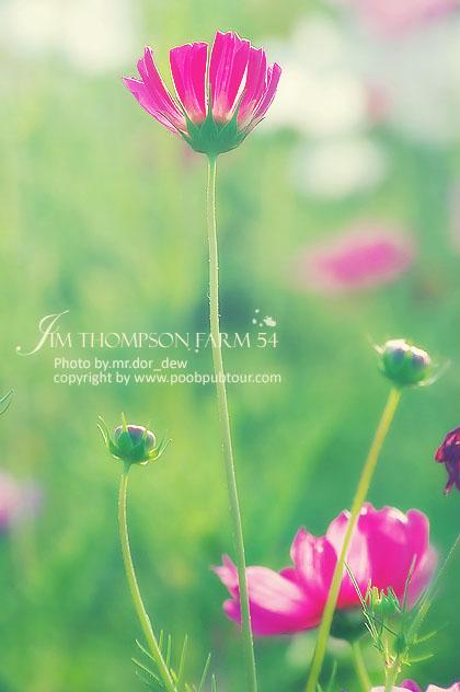 ดอกคอสมอส จิมทอมสัน