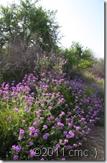 verbena_on_trail