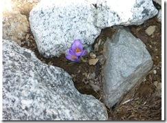 flower in alps