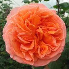 Garden-Rose-Orange-Rene-Goscinny250x250