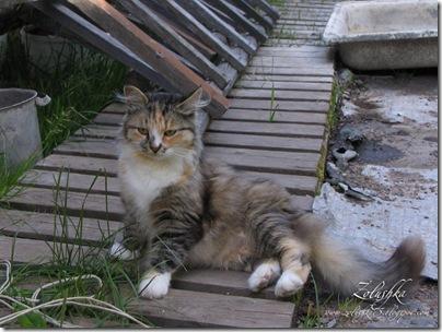 Кошка пеструшка