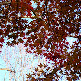 八塚ヶ谷紅葉公園 錦絵の如き小さな葉々が光に透ける (肉眼ではね...orz)