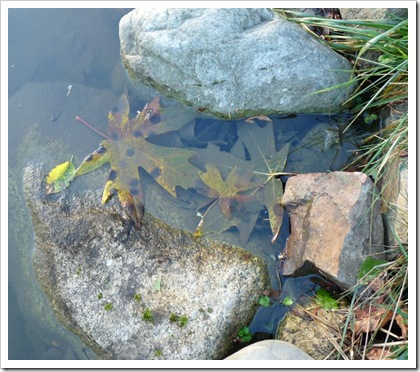 leaves in pond
