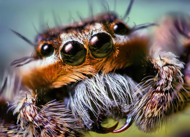 Чудеса мимикрии пауков.