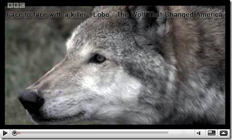 Face to face with a killer - Lobo - The Wolf That Changed America - BBC