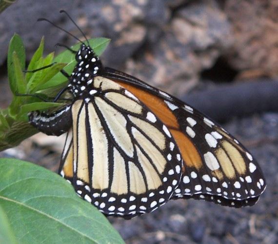 [monarca-pone-huevos[6].jpg]