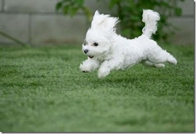 adorable white puppy on We Heart It