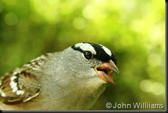 White-Crowned Sparrow, HWBS, 9 May 07
