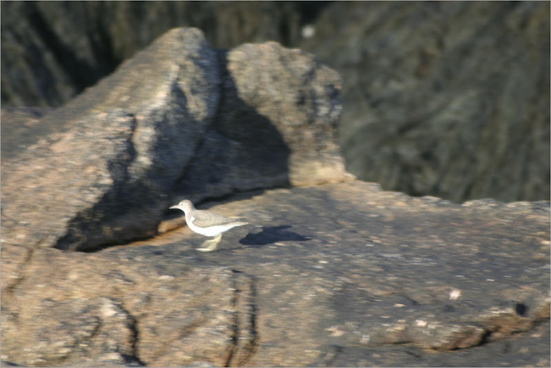 a bad image of a Spotted Sandpiper