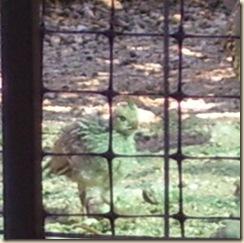 baby quail cu 5-25-2009 6-30-44 AM 540x538