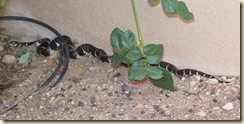 Rose snake 5-15-2009 5-26-31 AM 1966x979