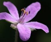 fiore-di-campo
