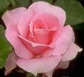 rosa_redimensionada