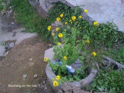 Flower on the ruin