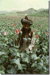 afghan_poppies
