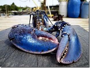 ba-blue_lobster_0500513884