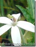 kembang putih 1685
