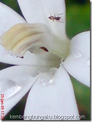 kembang putih 1894