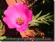 Portulaca grandiflora Hook 4543