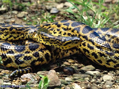 Huge Python