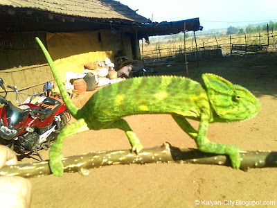 Photo of Chameleon