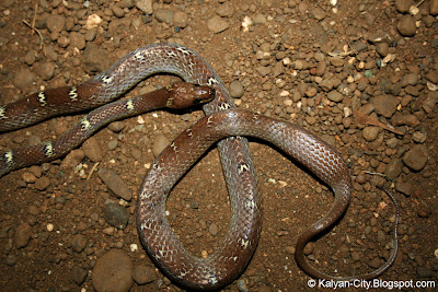 Common Wolf Snake