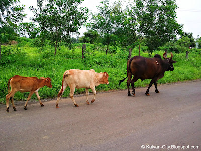 Cattle walking on road