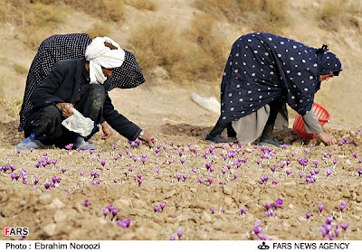 Working In Field of Saffron