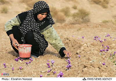 Woman Collecting Saffron Flowers