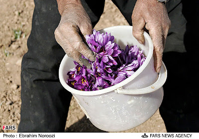 Saffron flowers in a bucket