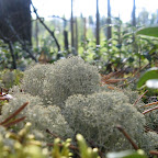 Карельский мох