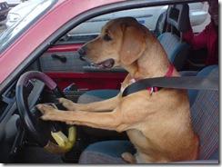 dog_driving