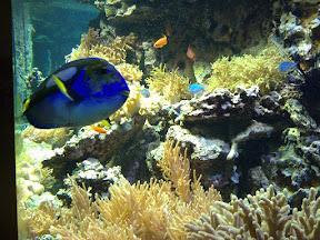 Doktorfisch vor Korallenbank