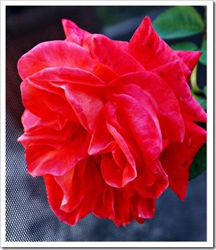 Maggielamarre-rose