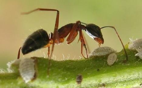 semut meledak Mekanisme Pertahanan Diri Hewan Yang Dahsyat