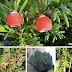 Tanaman-tanaman Beracun yang Mematikan