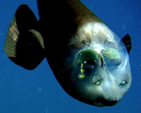 Ikan Aneh Berkepala Transparan ~ Aneh Tapi Nyata