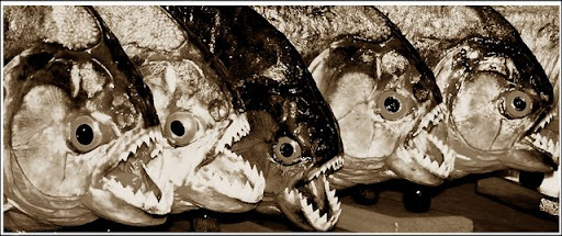 Ikan Piranha 1