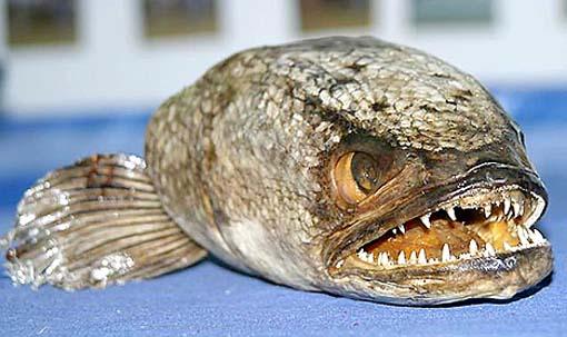 Snakehead Fish 1