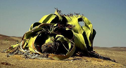 resistant plant3 10 Tumbuhan Terunik Dan Teraneh Di Dunia