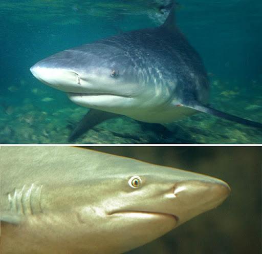 Hiu-hiu Terganas Di Dunia [ www.BlogApaAja.com ]