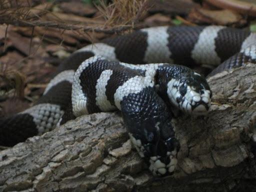 ular kepala dua 4 Kumpulan Ular Berkepala Dua di Seluruh Dunia