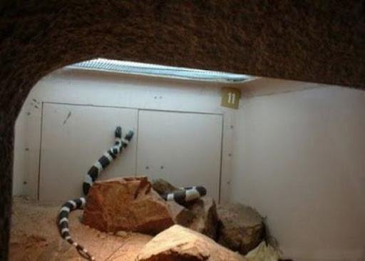 ular kepala dua 15 Kumpulan Ular Berkepala Dua di Seluruh Dunia