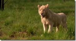 White Lion (2010)3