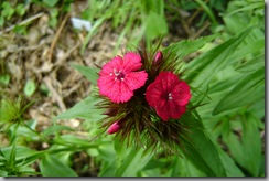 sweet william - dianthus barbatus