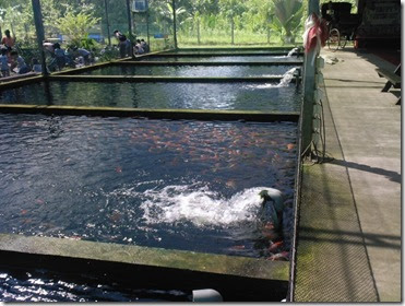 My 3 ponds visit to a koi farm in singapore for Koi fish pond for sale
