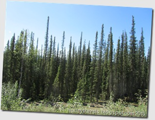 These skinny black spruce that appear to be very young trees can actually be very old.